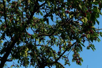 zbieranie owoców w sadzie